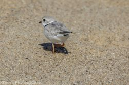 PipingPlover_23