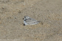 PipingPlover_24