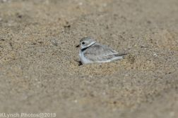 PipingPlover_25