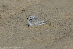 PipingPlover_26