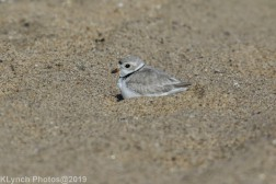 PipingPlover_27
