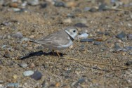 PipingPlover_28