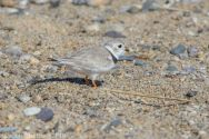 PipingPlover_29
