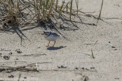 PipingPlover_3