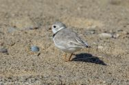 PipingPlover_30
