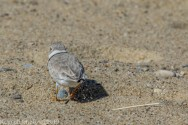 PipingPlover_31