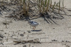 PipingPlover_4
