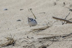 PipingPlover_5