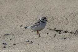 PipingPlover_7