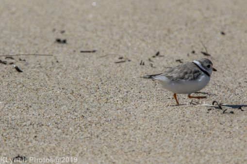 PipingPlover_8