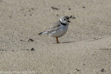 PipingPlover_9