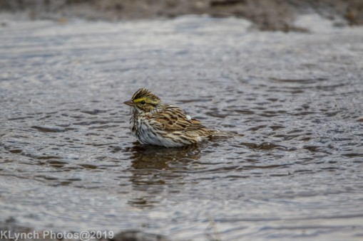 Sparrow_11