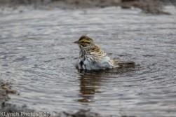 Sparrow_13