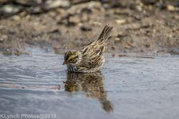 Sparrow_17
