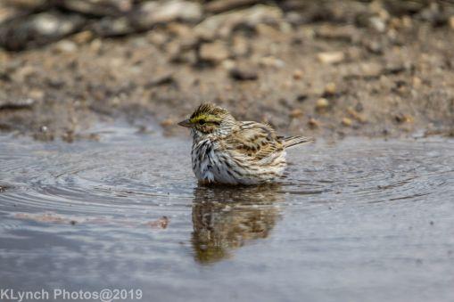 Sparrow_19