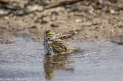 Sparrow_24