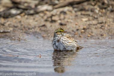 Sparrow_26