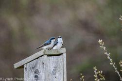 Swallows_1