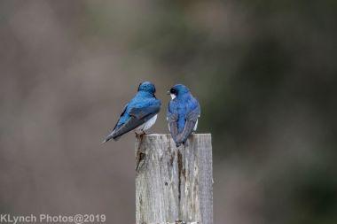 Swallows_10