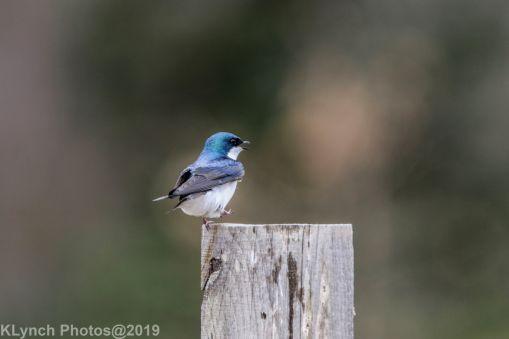 Swallows_11