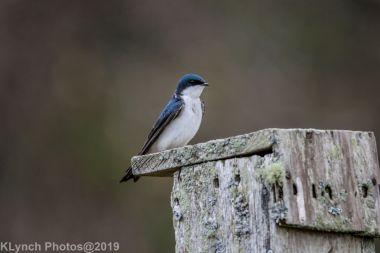 Swallows_14