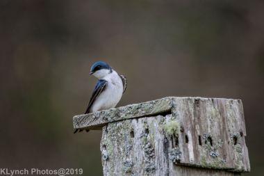 Swallows_15