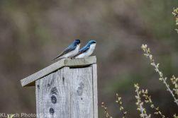 Swallows_2