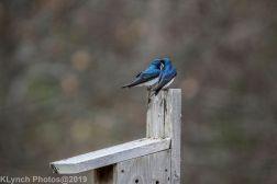 Swallows_3