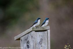 Swallows_4