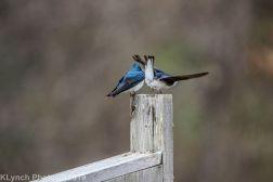 Swallows_5