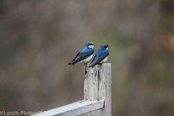 Swallows_6
