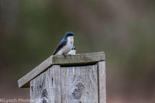 Swallows_8