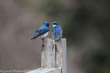 Swallows_9
