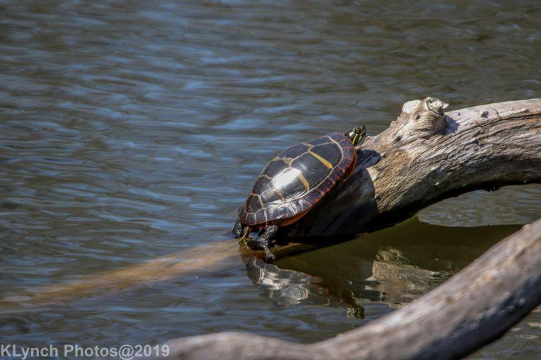 Turtles_3