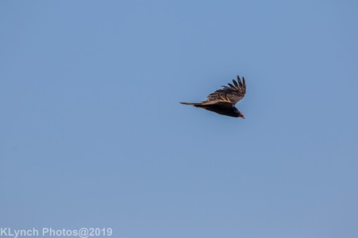 vulture_2