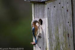 Bluebirds_13