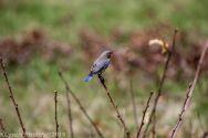 Bluebirds_19