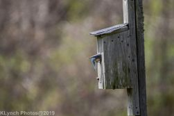 Bluebirds_2