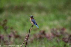 Bluebirds_7