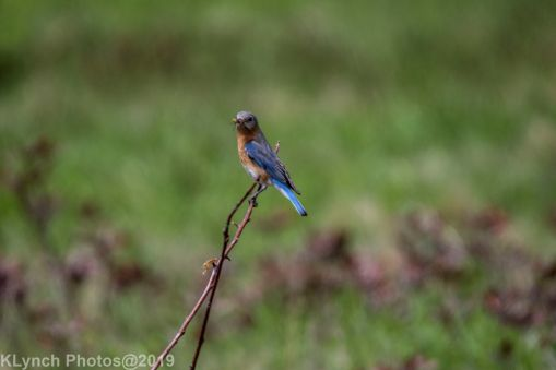 Bluebirds_8