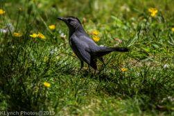 Catbird_1
