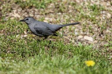 Catbird_10