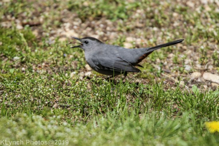 Catbird_11