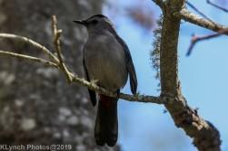 Catbird_6