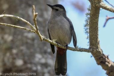 Catbird_9
