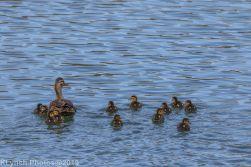 Ducklings_1