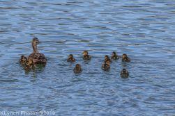 Ducklings_2