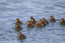 Ducklings_3