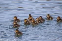 Ducklings_4