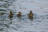 Ducklings_6
